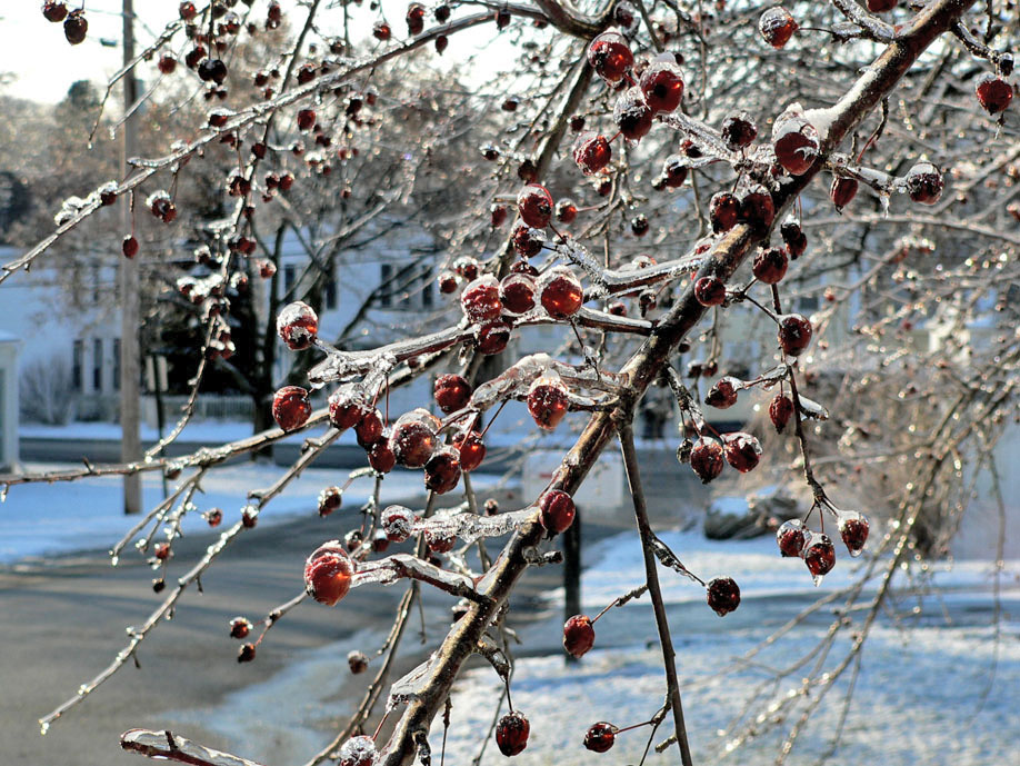 The ornamental cherries that remained on the trees were covered with ice Saturday and Sunday. (Bea Peterson photo)