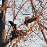 Bald Eagles Nest In North Petersburgh