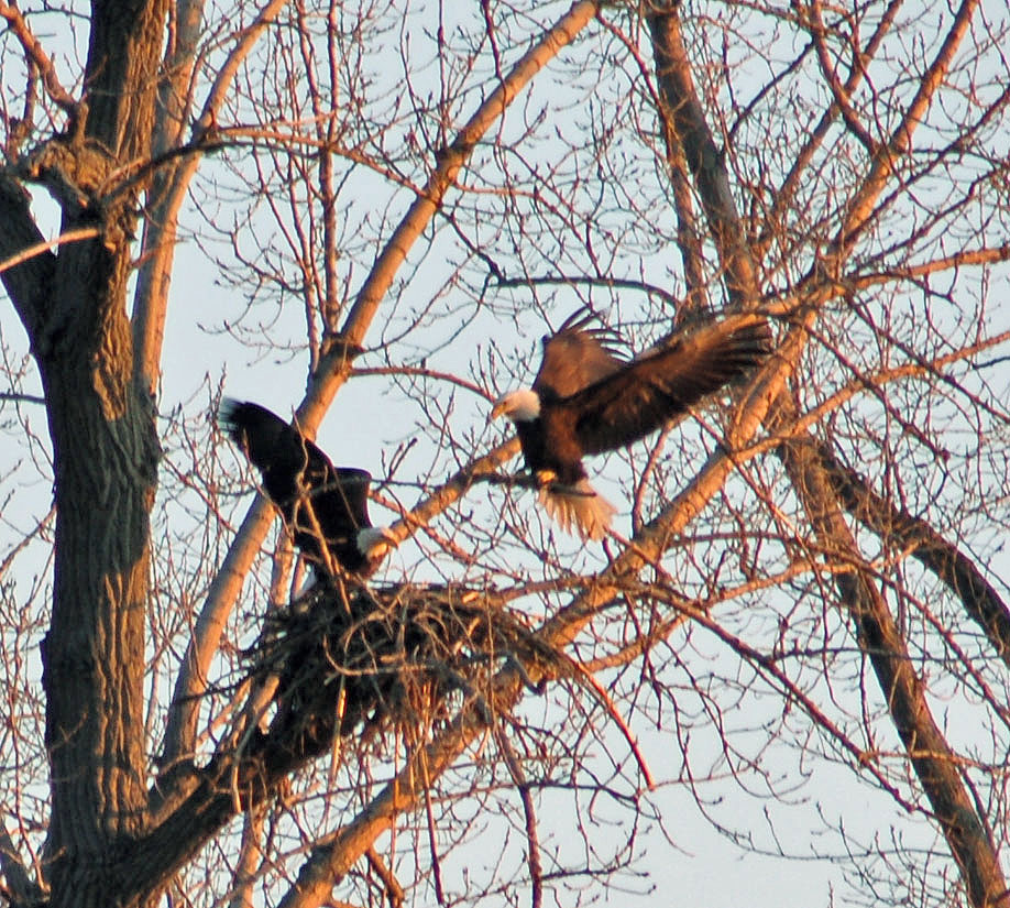 Last week a pair of bald eagles were building a nest in a cottonwood tree in North Petersburgh. Photo by Eric Woods.