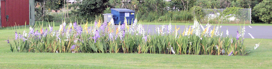 The Berlin gladioli are in full bloom. Most people notice the gladioli bed in front of Katherine Hakes' house which is a spectacular red color, but this one across Route 22 on the Bank of America property has more character. (Kieron Kramer photo)
