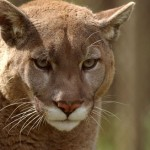 Introducing The Cougar