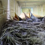 Second Time Around For Prolific Birds