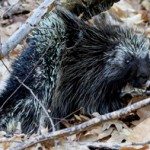 Petersburgh Porcupine